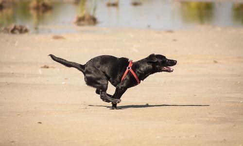 dog_dash
